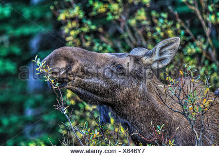 Moose (Alces alces) Female moose, In its natural habitat, feeding and looking for food. Scenic photo. Kananaskis Provincial Park, Alberta, Canada - Stock Photo