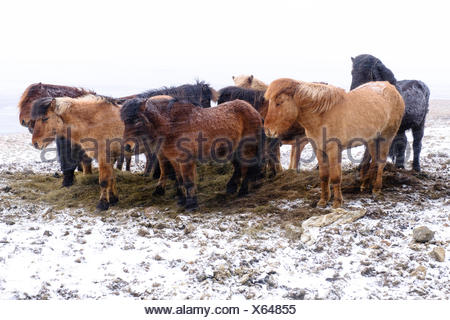 Iceland horses in snowstorm, Stokksnes, Austurland, Eastern Region, Iceland - Stock Photo