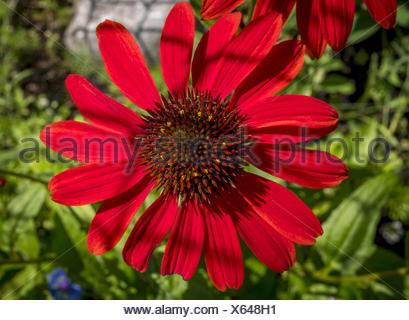 Rote Rudbeckie, Roter Sonnenhut oder Purpur-Sonnenhut (Echinacea purpurea), Bayern, Deutschland, Europa - Stock Photo