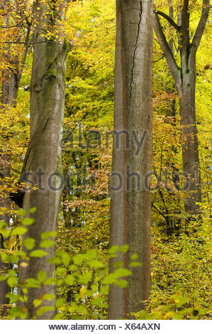 Primeval beech forest, trunks of a beeches, colours of autumn, Steigerwald, Bavaria, Germany - Stock Photo