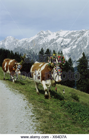 tradition / folklore, Almabtrieb, Salzburg, Austria, Additional-Rights-Clearance-Info-Not-Available - Stock Photo