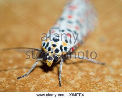 Colorful lepidopterans. Insect. Arthropoda. Macro - Stock Photo