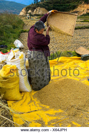 Bhutanese woman separating chaff from rice, Paro, Bhutan - Stock Photo