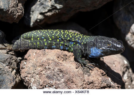 Gallot's lizard (Gallotia galloti), male, Tenerife, Canary Islands, Spain - Stock Photo