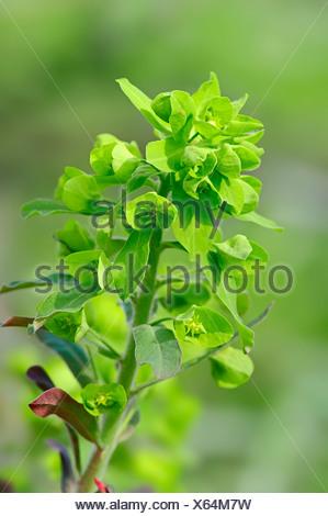 Wood spurge (Euphorbia amygdaloides), North Rhine-Westphalia, Germany - Stock Photo