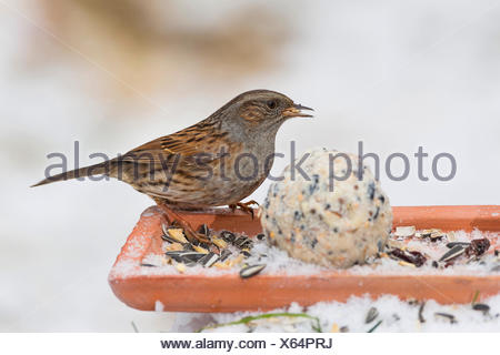 dunnock (Prunella modularis), feeding handmade fat feed in the snow, side view on the ground, Germany - Stock Photo