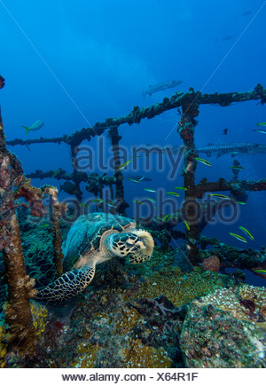 Resting turtle starts to flee. - Stock Photo