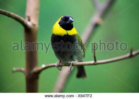 Cuban Finch, (Tiaris canora), (Tiaris canorus), adult male, sitting on branch, Caribbean - Stock Photo