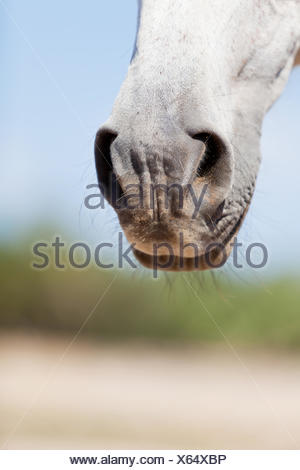 beautiful pura raza espanola pre andalusian horse - Stock Photo