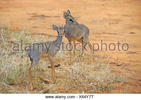 Kirk's dikdik, Kirk's dik-dik, Damara dik-dik (Madoqua kirkii), pair in its habitat, Kenya, Samburu National Reserve - Stock Photo