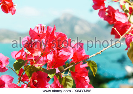 Bougainvillea flowering with sea behind - Stock Photo