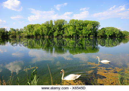 mute swan (Cygnus olor), two swans on Old Rhine arm in spring, Germany, Baden-Wuerttemberg - Stock Photo