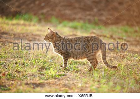 Close-up of a domestic cat (Felis silvestris catus) on a meadow in late summer. - Stock Photo