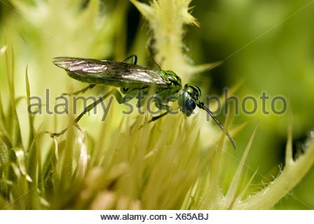 Sawfly (Tenthredo olivacea), on flower, Germany - Stock Photo