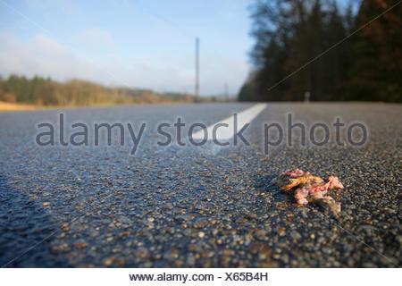Erdkroete, Erd-Kroete (Bufo bufo), ueberfahren auf Strasse, Deutschland, Bayern, Niederbayern | European common toad (Bufo bufo) - Stock Photo