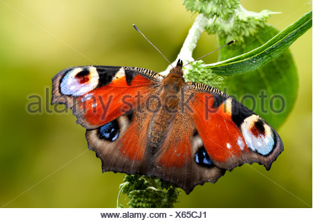 Peacock Butterfly Inachis io resting with wings open on garden shrub - Stock Photo