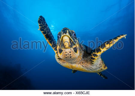 Hawksbill turtle (Eretmochelys imbricata) male swimming in open water above coral reef. Tank Rock, Fiabacet, Misool, Raja Ampat, West Papua, Indonesia. Ceram Sea, Tropical West Pacific Ocean. - Stock Photo