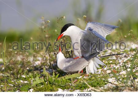 Terns (Sterna hirundo) mating, Texel, The Netherlands - Stock Photo