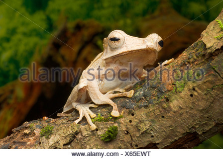 File-Eared Tree Frog, Borneo eared frog, Bony-headed flying frog  (Polypedates otilophus), on a branch - Stock Photo