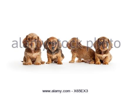 Four wire-haired dachshund puppies on white background - Stock Photo