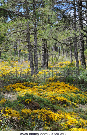 Yellow flowers in bloom, moss, forest ground, pine forest, Cuenca ...