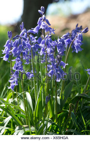 Spanish bluebells, Hyacinthoides hispanica, in full blue flower in a woodland setting.  These plants are invasive and hybridise with the English nativ - Stock Photo
