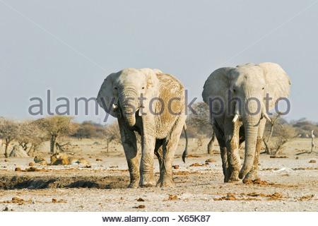 African Elephants (Loxodonta africana) and lions (Panthera leo) in the background, Nxai Pan, Makgadikgadi Pans National Park, B - Stock Photo
