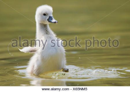 mute swan (Cygnus olor), chick, Austria, Burgenland - Stock Photo