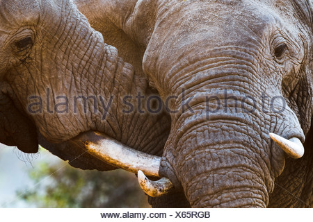 Adult bull African Elephants sparring. Banks of the Luangwa River. South Luangwa National Park, Zambia - Stock Photo
