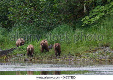 Brown bear sow with three yearling cubs at shoreline of Prince William Sound, Southcentral Alaska, Summer - Stock Photo