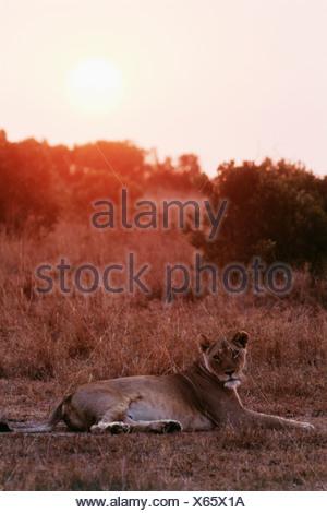 Lioness (Panthera leo) resting on savannah - Stock Photo
