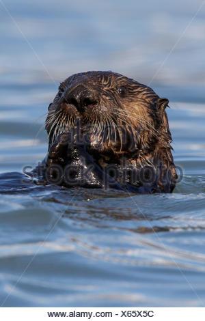 Sea Otter (Enhydra lutris) offshore of Seward, Alaska.