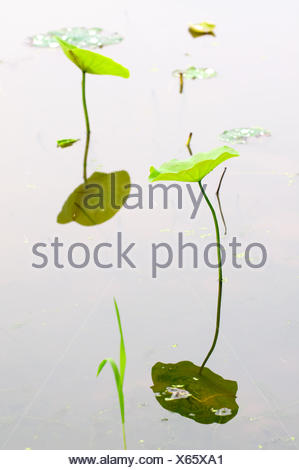 View of lotus leafs with reflection over water - Stock Photo