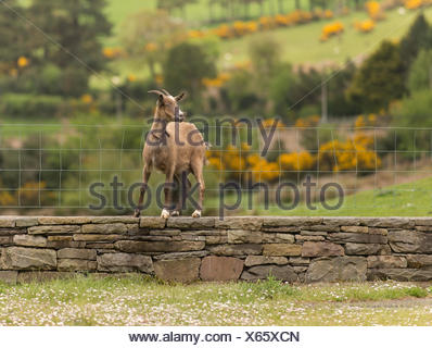 A goat stands on a stone wall next to a fence in County Kerry, Ireland. - Stock Photo