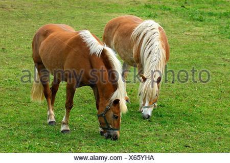 Haflinger Horses Equus caballus, mares on a meadow - Stock Photo