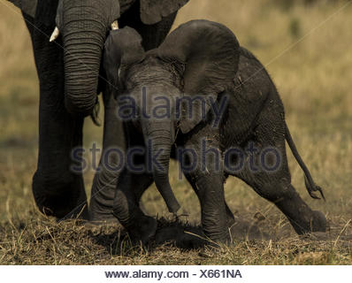 An elephant, Loxodonta africana, calf finds its balance after getting up from rolling in the dirt and grass. - Stock Photo