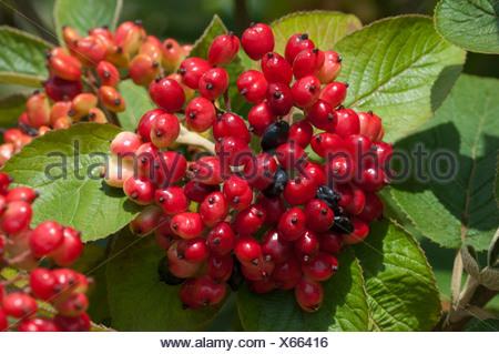 Wayfaring Tree, Hoarwithy, Twistwood, Meal Tree (Viburnum lantana), unripe berries on a twig - Stock Photo