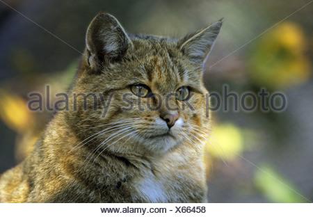 wild cat - portrait Felis silvestris - Stock Photo