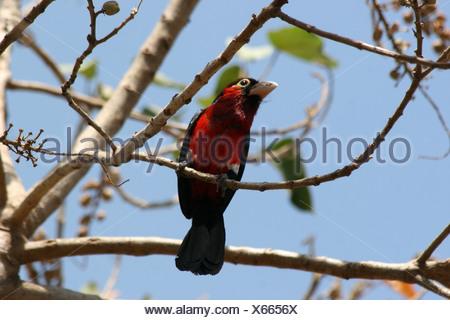 Africa Ethiopia Crimson breasted Gonolek formerly Crimson breasted Shrike Laniarius atrococcineus - Stock Photo
