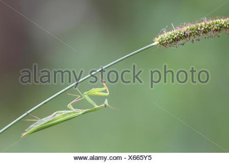 Portrait of a praying mantis, Mantis religiosa, on a foxtail stem, Setaria species. - Stock Photo