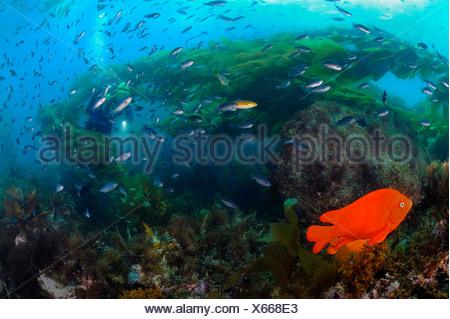 Garibaldi Fish and Blacksmith Chromis in Kelp Forest Hypsypops rubicundus California USA - Stock Photo