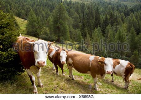 cows on mountain pasture - Stock Photo