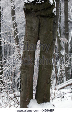 Shared Tree like a trousers - two pentlegs - Stock Photo