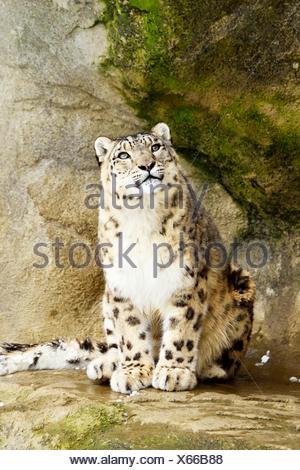 Snow Leopard (Panthera uncia), adult sitting on rock, captive, Switzerland - Stock Photo