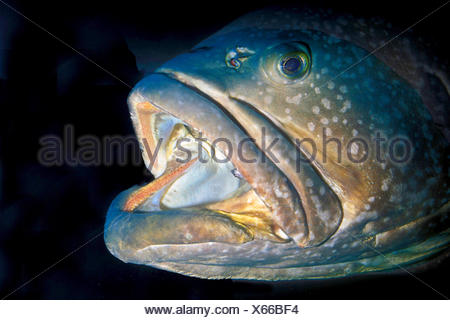 giant grouper (Epinephelus lanceolatus), portrait with gaping mouth , Norway, Lofoten Islands - Stock Photo