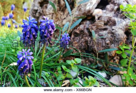 Close-Up Of Blue Grape Hyacinth Flowers - Stock Photo
