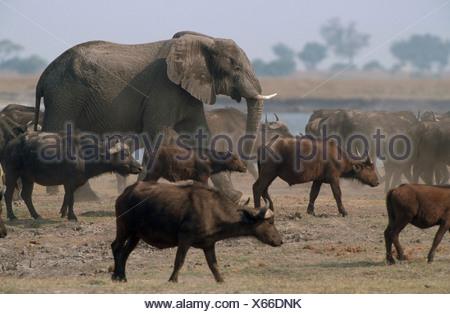 African Elephant (Loxxodonta  fricana) walking among Cape Buffaloes (Syncerus caffer) - Stock Photo