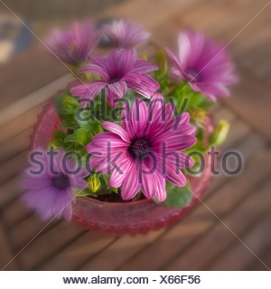 Pink annual daisies in pot. - Stock Photo