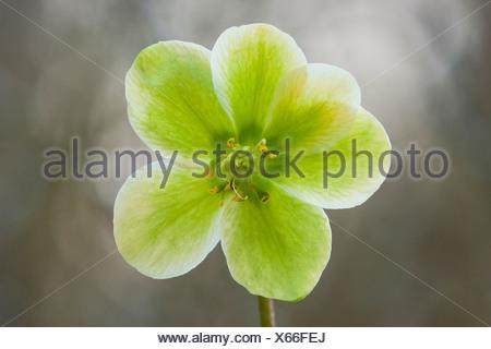 black hellebore (Helleborus niger), flower in backlight, Germany - Stock Photo