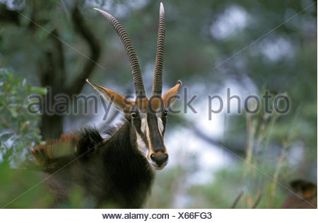 Sable Antelope, hippotragus niger, Portrait of Female, South Africa - Stock Photo